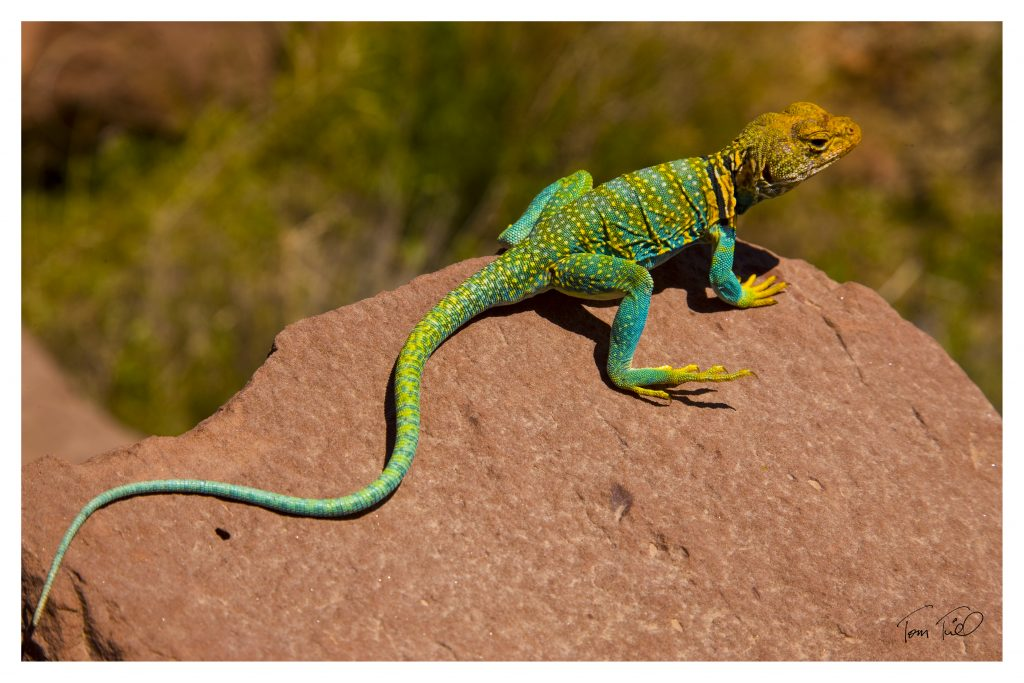 Collared Lizard Canyonlands National Park, Utah Crotophytus collaris Beautiful lizard of Utah Colorado Plateau